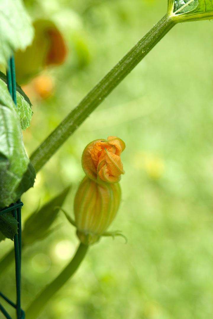 zucchini squash blossom